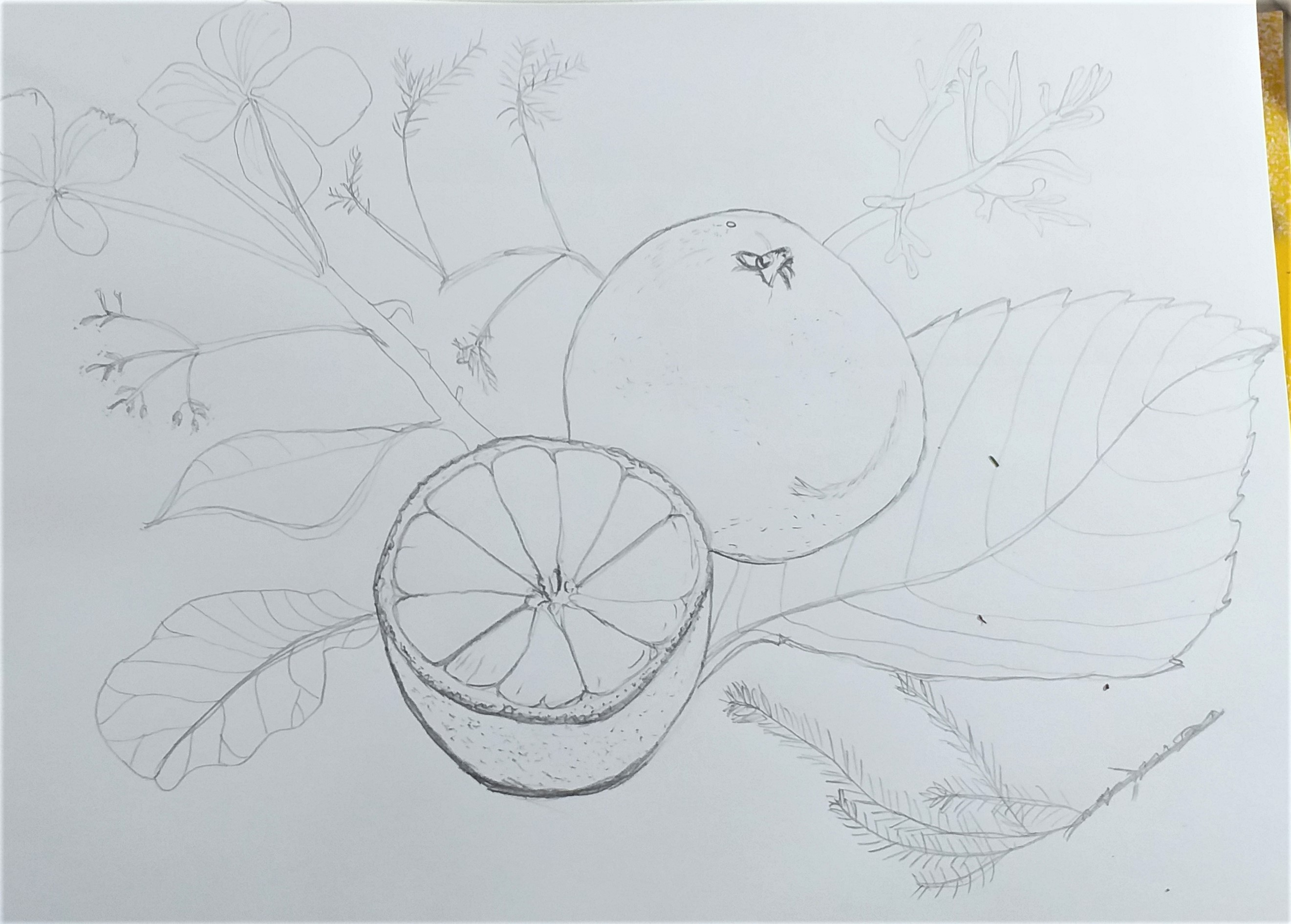 Adelle's drawing of fruit and leaves create at Art classes for absolute beginners at Art classes in Kidderminste