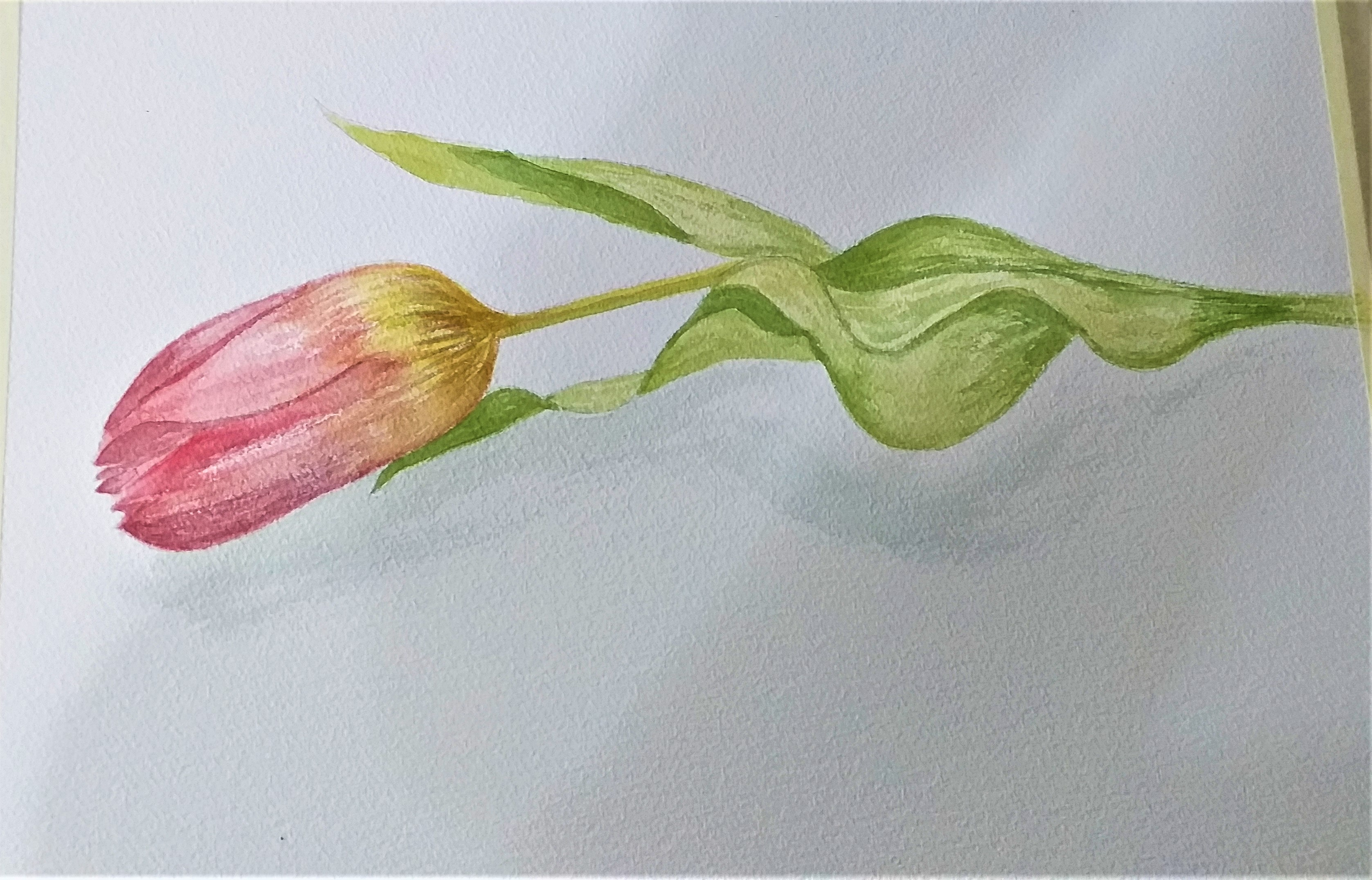 Watercolour study of a Tulip created at watercolour classes in Worcestershire