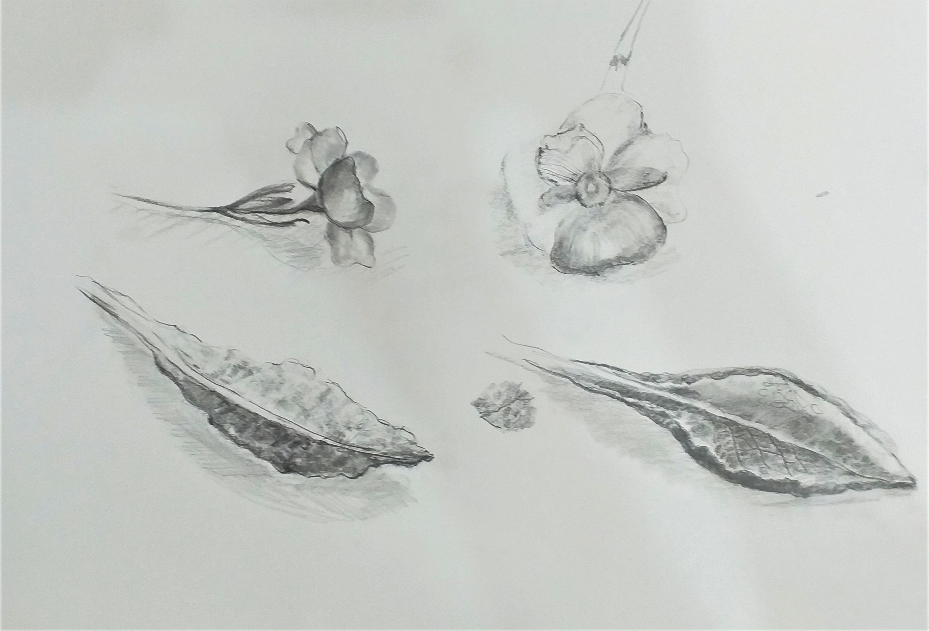 pencil-drawings-of-plants-by-Linda-at-art-classes-in-Worcestershire