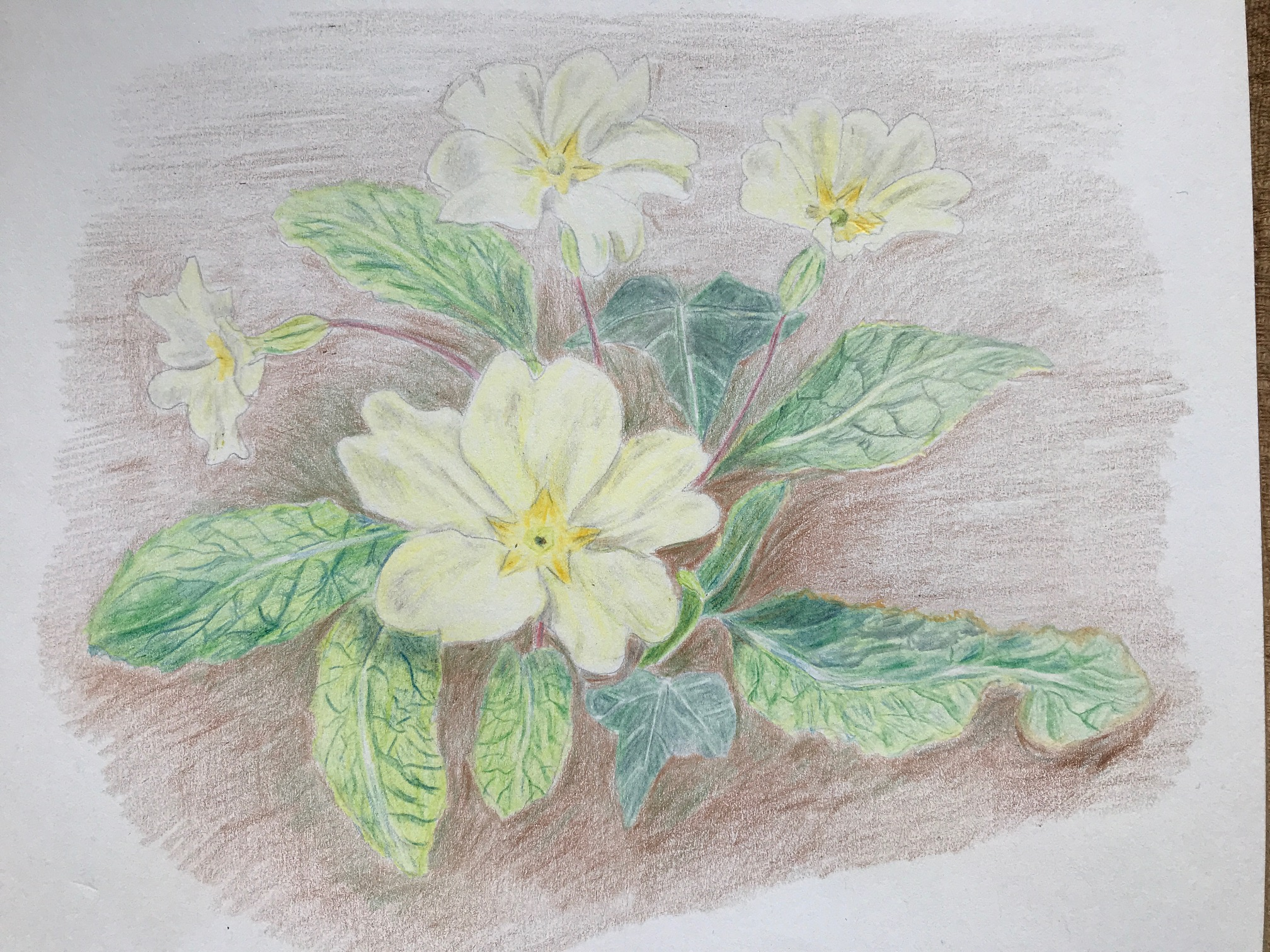 Coloured pencil study of primula by Karen